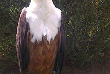 Birds of Prey - Drakensburg