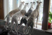 Whippets and other sight hounds