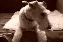 Fox Terrier♥