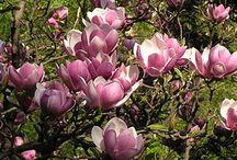 Magnolias... love them! / by Linda B