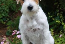 Adorable JRT's!
