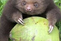 Loveforsloth
