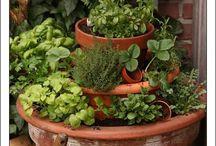 Growing herbs   /  Kruiden kweken