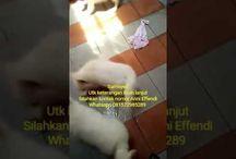 Von Javelline Kennel jual anjing Samoyed di Bandung