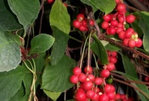 Schizandra Chinensis Health Benefits