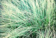 PENNISETUM  / Grasses for the garden!
