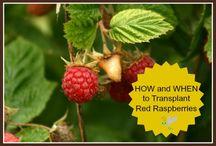 Gardening- Raspberries
