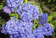 Blue / Plants for your garden