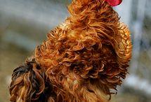 Chicken Breeds / by Margaret Syth