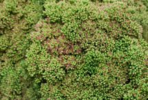 Sedums / A selection of varieties of sedums and design inspiration.