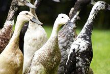 Garden * Indian Ducks