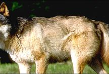Vancouver Island wolf (Canis lupus crassodon)