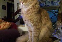 Foto Maine Coon - I gatti degli utenti / Questa sono le foto dei gatti Maine Coon degli utenti del sito. Puoi trovare la foto gallery qui: http://www.amicomainecoon.it/foto-dei-gatti-maine-coon/