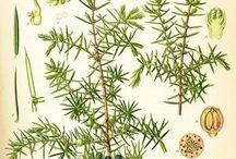 Planche botanique