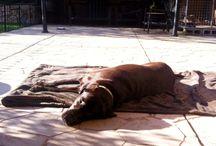 Labradors sunbathing! / Labradors sunbathing!