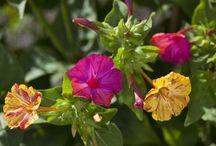 Night blooming Garden for North Texas / gardening