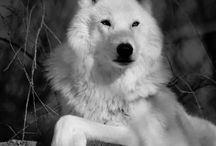 •NIGHT WOLF• Sehun♥