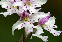 orchids|_ορχιδέες