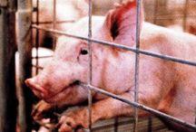 Farming  - Pigs