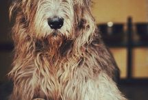 Irish Wolfhound: I will have one or two someday. Beautiful.