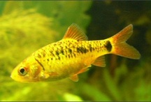 tetras, gupys, swordfishes and more