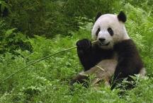 Pandas fo life