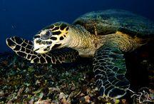 Marine Life / Marine life and diving photos taken on Gili islands, Indonesia