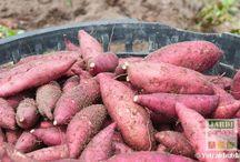 cultivé la patate douce