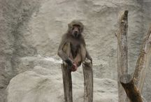 Maszat (Hamadryas Baboon) / This is Maszatka's video and photo platform. She is a 5 yo Hamadryas Baboon female, awfully clever, intelligent. Lives at Budapest Zoo, arrived from Győr Zoo in 2014 April. She is the lowest ranking member at her (7 persons) group, her social status is un-adequate (bad), but she is the most sensitive, intelligent, has real strategic and logical thinking, cooperative with me, and of course, she is my lovely, favourite, beautiful baboon, therefore I tried to help for Maszat!