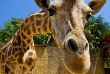 Giraffes are the Greatest