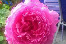 Meine Rosen / Rosenbilder aus meinen Garten
