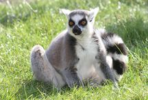 Lemur Encounters / Get closer to our beautiful ring-tailed lemurs and red ruffed lemurs in their walk-through enclosure.