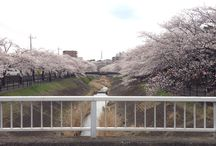 Sakura / Sakura by the river