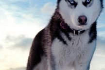 Siberian Husky / Best Pet Inc. has everything you could imagine for your pup. Make sure your Husky is well-taken care of and get 'em some Best Pet supplies!