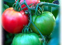 Vegetable Plants / Growing Vegetable Plants
