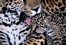 Felinos / Onças, Leopardos, Pumas, etc.