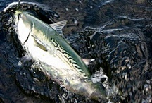 FALSE ALBACORE / Fly fishing for false albacore or albies.  False albacore on the fly.