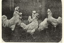 """Avicoltura """"d'annata"""" - Ancient Poultry Images / Foto storiche e illustrazioni d'epoca inerenti all'avicoltura."""