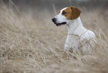 istrian hound
