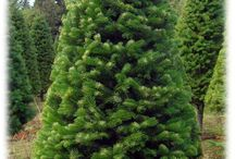 The Types of Christmas Trees