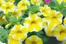 Zahradní květiny / Как высевать, растить и ухаживать за цветами в саду