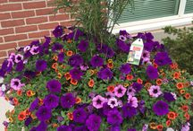 Flowers in Downtown Marysville Ohio / Hanging baskets and containers created for downtown Marysville, Ohio.  Come and enjoy!