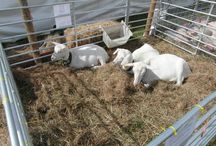 County Show - 2014 / The Goats were loving the attention at the 2014 Isle of Wight County Show