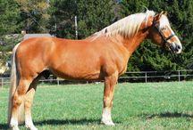Konie FIŃSKIE