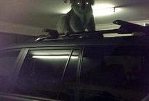 Koala attack