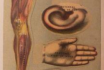Anatomical illustration