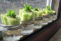 Plantes aromatiques / légumes