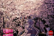 Cherry Blossoms / by Sherry Garland