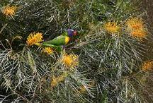 Australian native garden / PLANTS