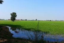 Il riso di Milano